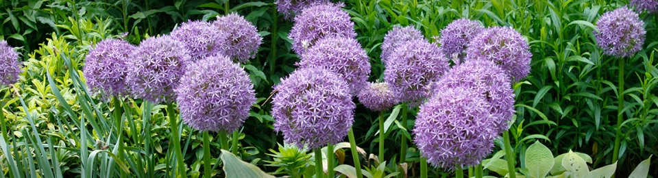 Allium for website banner