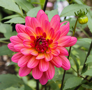 corona-dahlia-for-website-5343